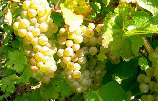 riesling_grapes