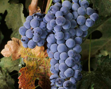 main merlot grapes Wine Wednesday   Red Grapes