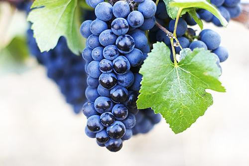 pinot noir grapes Wine Wednesday   Red Grapes