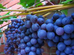 shirazgrape Wine Wednesday   Red Grapes